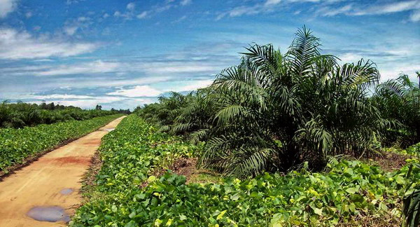 foto-6-oil-palm-plantation